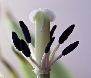 tulipán bibék
